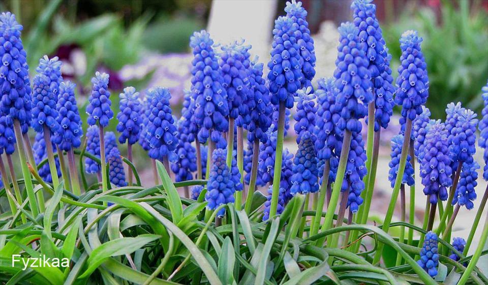 Луковичные цветы картинки 7